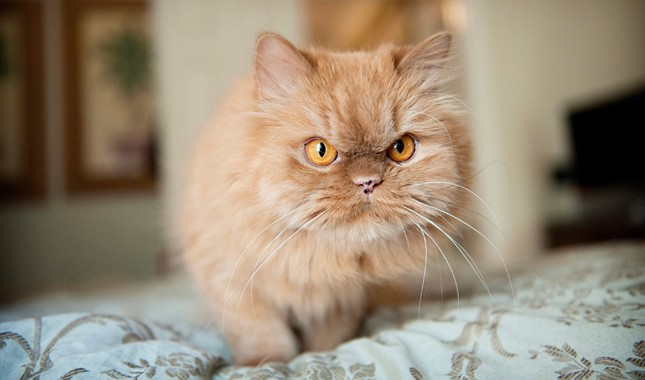 Everything You Need To Know About Doll Face Persian Cats